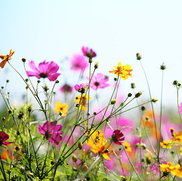 new summer cosmos flowers