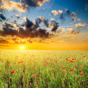 Puriify your soul -- sunset in poppy field
