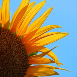 Sunflower now on blue sky