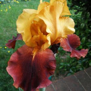 russet iris