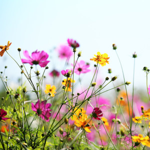 new summer cosmos flowers