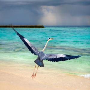 Freedom bird taking wing