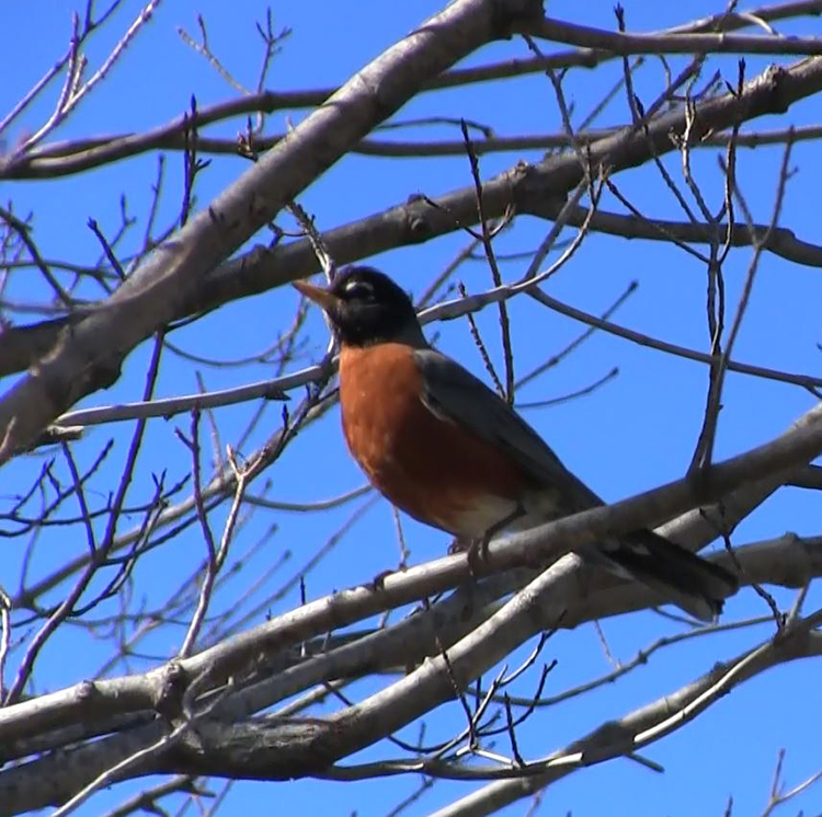 Joy seeing a Robin in Lent