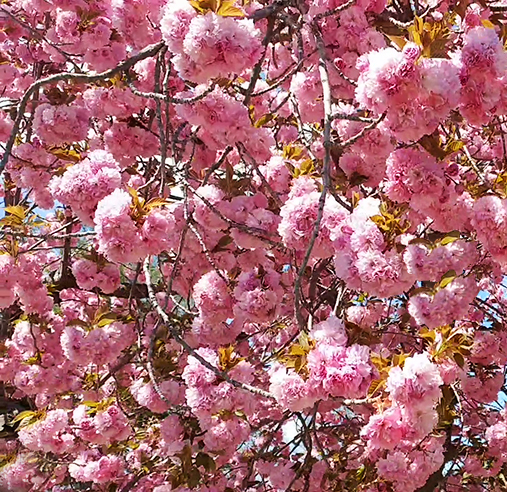 blooming cherry tree shows big hope