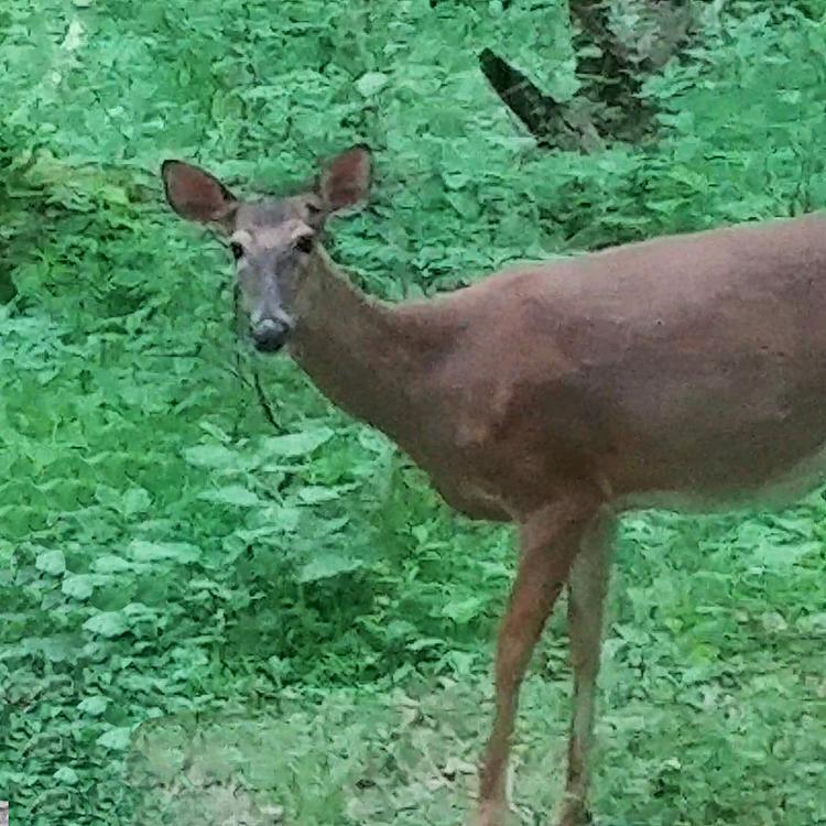 Wildlife Deer in Woods