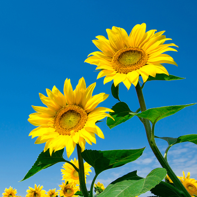 Sunflowers in field with blue sky